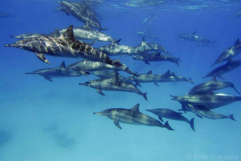 safari stjohn-delfiny3