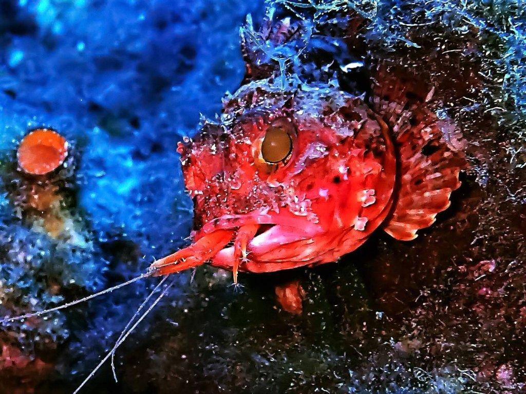 Skorpena - podwodny skorpion -