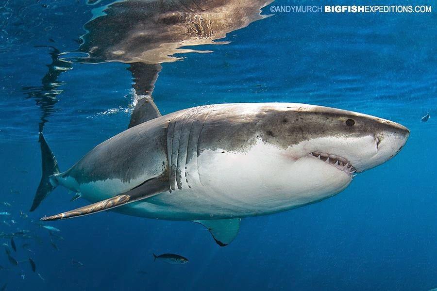 Nurkowanie z rekinami -